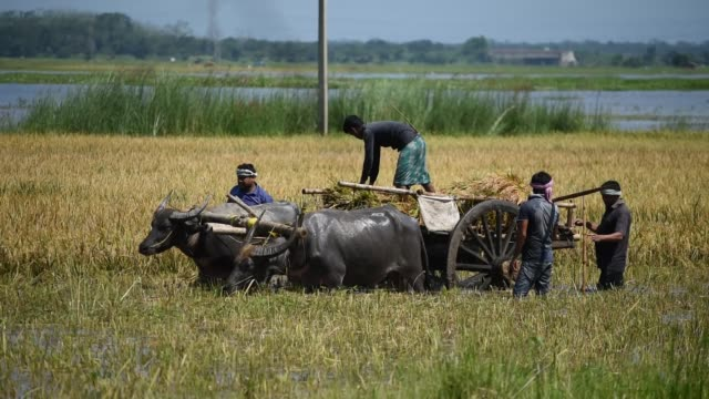 stockvideo's en b-roll-footage met guwahati assam india 29 may 2020 farmers load paddy on a bullockcart in a flood affected field at mayong village in morigaon district of assam friday... - strohoed