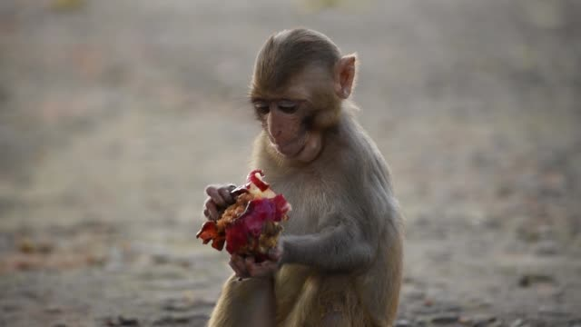 guwahati, assam, india. 30 may 2020. monkeys eats fruits, distributed by volunteers, during the ongoing covid-19 lockdown, in guwahati, saturday, may... - fruit stock videos & royalty-free footage