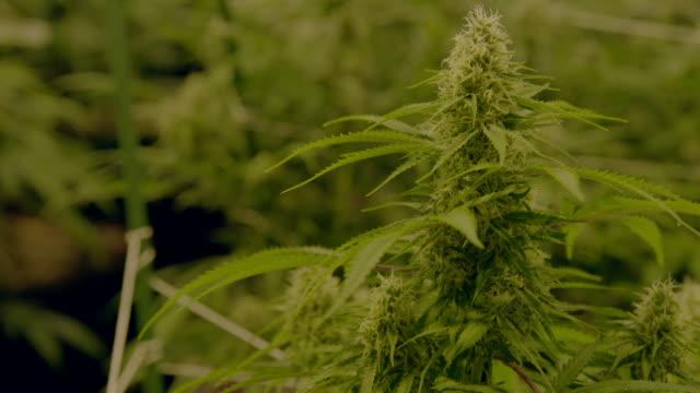 Про марихуану видео марихуана воздействие на организм человека
