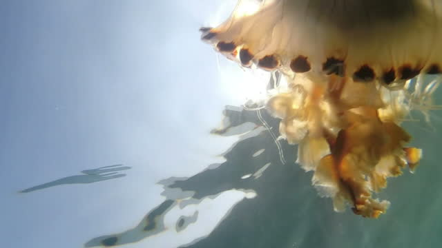 gvs compass jellyfish at the surface - underwater film camera stock videos & royalty-free footage