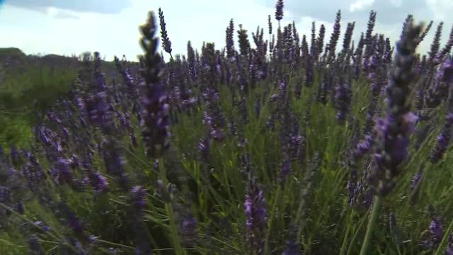 gvs of lavender farm; england: surrey: banstead: mayfield lavender farm: various of people visiting lavender farm - farm stock videos & royalty-free footage