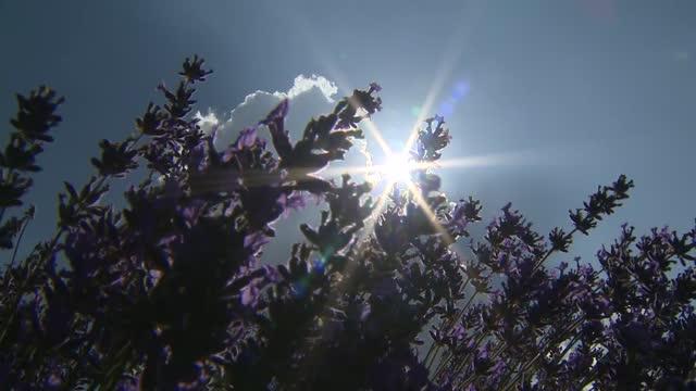 gvs of lavender farm; england: surrey: banstead: mayfield lavender farm: ext various of people visiting lavender farm - farm stock videos & royalty-free footage
