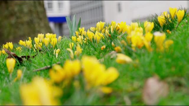 gvs wild yellow crocus - flowerbed stock videos & royalty-free footage