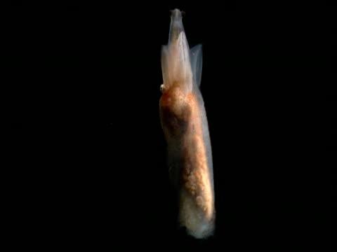 gymnosome mollusc swims upwards, gulf of mexico - mollusc stock videos & royalty-free footage