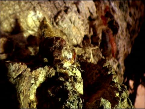 Gypsy moth (Lymantria dispar) adult emergence, Andalusia, Southern Spain