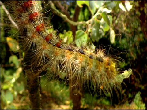 gypsy moth (lymantria dispar) caterpillar eating; defensive hairs and warning colours, andalusia, southern spain - tierfarbe stock-videos und b-roll-filmmaterial