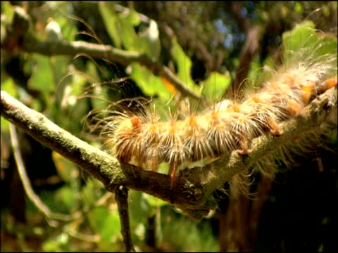 gypsy moth (lymantria dispar) caterpillar on branch, andalusia, southern spain - tierfarbe stock-videos und b-roll-filmmaterial