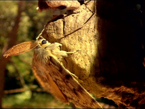 gypsy moth (lymantria dispar) with large antennae, andalusia, southern spain - moth stock videos and b-roll footage
