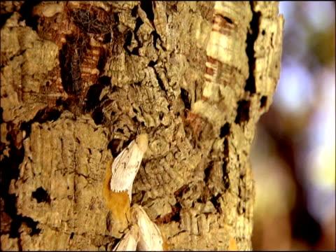 vídeos de stock, filmes e b-roll de gypsy moths (lymantria dispar) on bark, track up, andalusia, southern spain - camuflagem