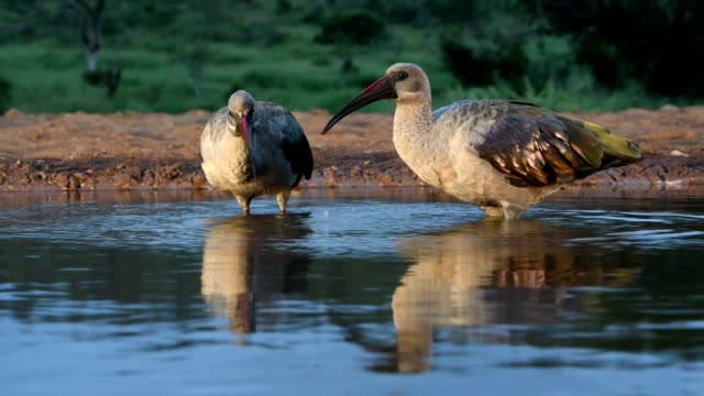 hadeda ibis (bostrychia hagedash) near the water,  zimanga south africa - becco video stock e b–roll
