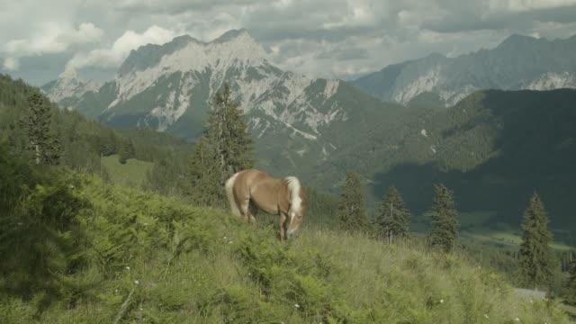 haflinger (horse) grazing on a meadow in the european alps - grazing stock videos & royalty-free footage