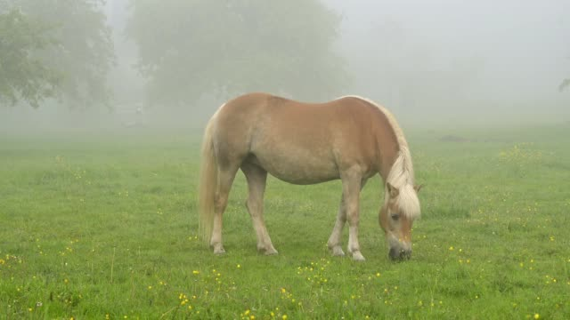 Haflinger horse on pasture in the morning