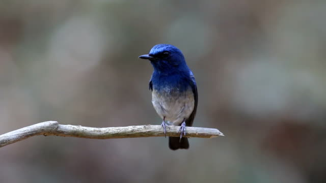 hainan blue flycatcher cyornis hainanus beautiful male birds of thailand - twig stock videos & royalty-free footage
