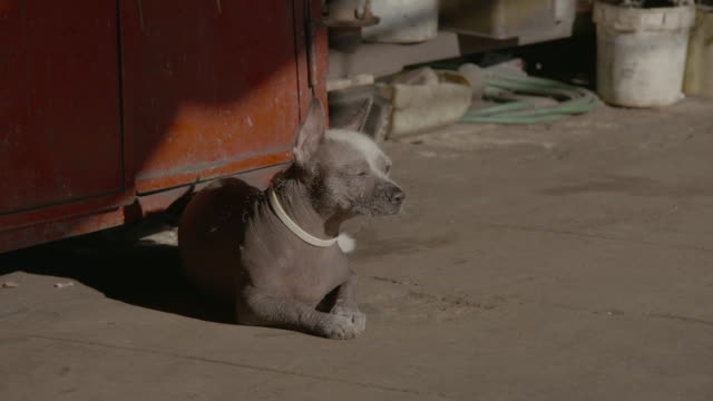 stockvideo's en b-roll-footage met hairless dog sits and yawns - helemaal kaal
