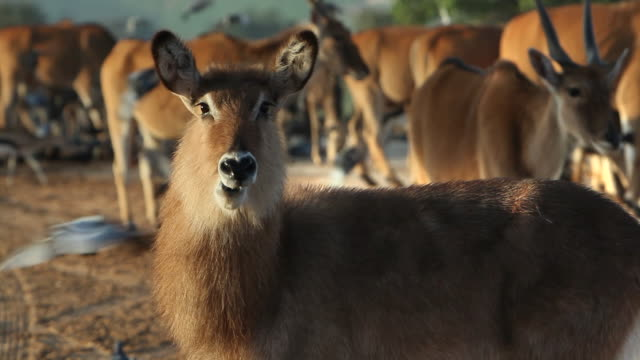A hairy antelope chews its cud.