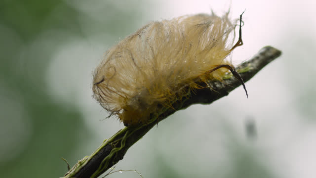 Hairy caterpillar (Megalopygidae family) crawls down branch.