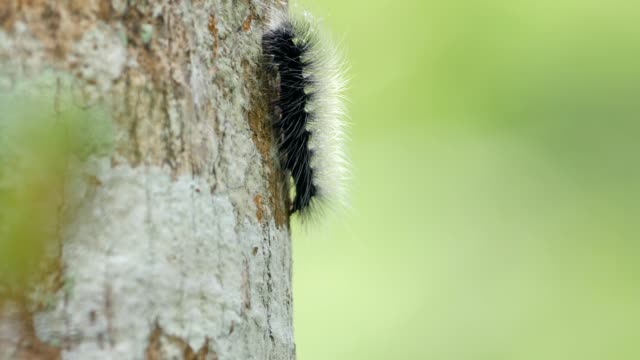 hairy caterpillar in nature . - woolly hat stock videos & royalty-free footage