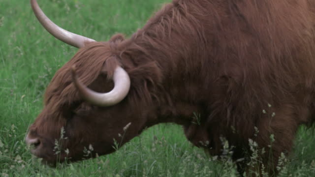 A hairy highland cow (Bos taurus), surrounded by tiny flying insects, grazes on untended grass, Scotland, UK.