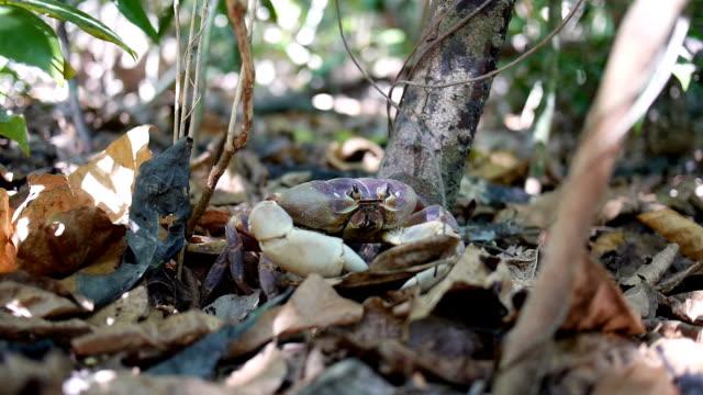 behaart bein mountain crab geht - tierisches exoskelett stock-videos und b-roll-filmmaterial