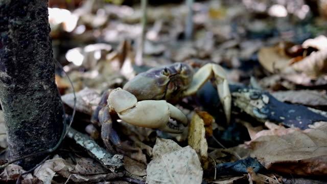 hairy leg mountain crab walks - pinching stock videos & royalty-free footage