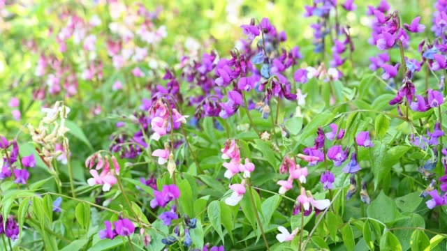 hairy vetch flowers in spring. - 30 seconds or greater stock videos & royalty-free footage