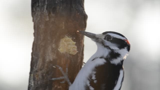 hairy woodpecker eating - woodpecker stock videos & royalty-free footage