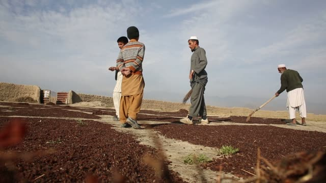 Haji Abdul Ahmad works raking raisins as they dry near his fields in the Deh Sabz district of Kabul Province Afghanistan Saturday November 1 2015 A...