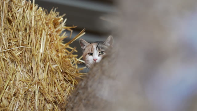 half domesticated half wild farm cats in a hay barn. - peeking stock videos & royalty-free footage