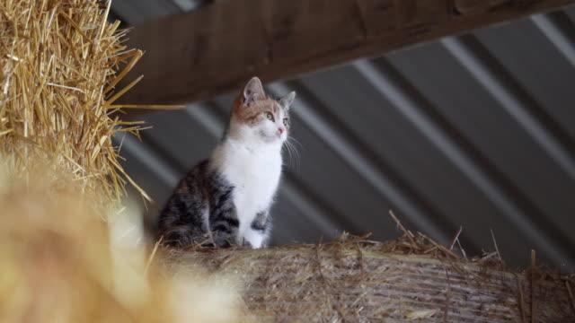 半分は干し草の納屋で半分の野生の農場の猫を家畜化しました。 - 農家の納屋点の映像素材/bロール