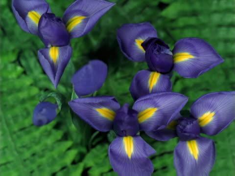 Half opened purple iris