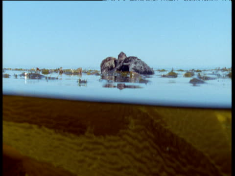 half submerged view as sea otter floats grooming in kelp bed, california - otter stock-videos und b-roll-filmmaterial