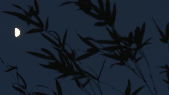 halfmoon and bamboo leaves, gunma, japan - bamboo plant stock videos & royalty-free footage