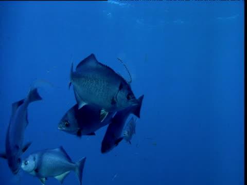halfmoon (medialuna californiensis) shoal eats salp chain, california - sea squirt stock videos & royalty-free footage