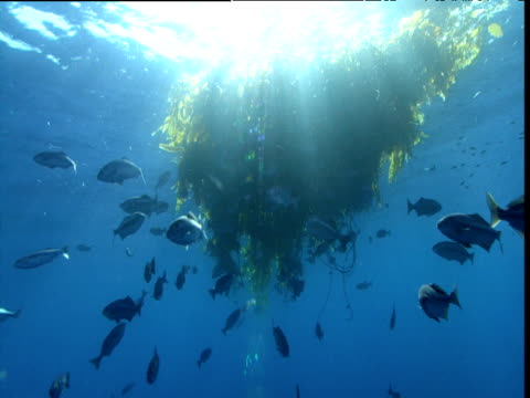 Halfmoon (Medialuna californiensis) shoal swims under kelp, California