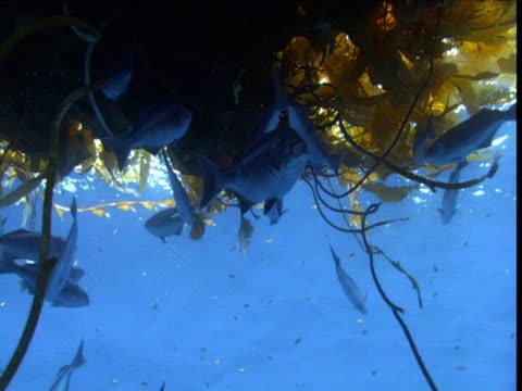 halfmoon (medialuna californiensis) swims away from drifting kelp, california - kelp stock-videos und b-roll-filmmaterial