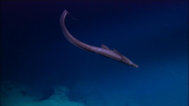 halosaur fish swimming over deep sea floor, mid atlantic ridge - tiefe stock-videos und b-roll-filmmaterial