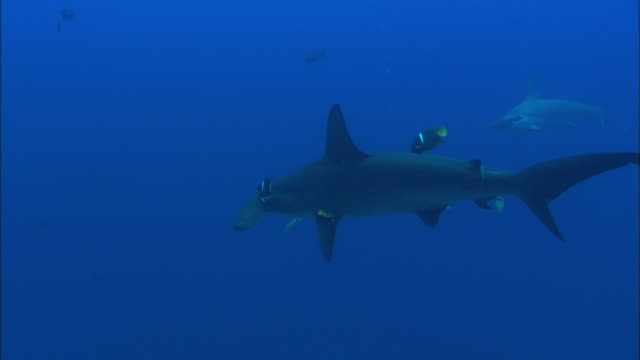 hammerhead being cleaned, costa rica, pacific ocean  - costa rica stock videos & royalty-free footage