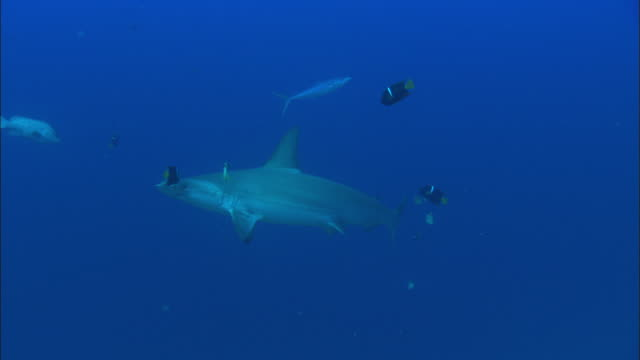 hammerhead cleaned, costa rica, pacific ocean  - costa rica stock videos & royalty-free footage