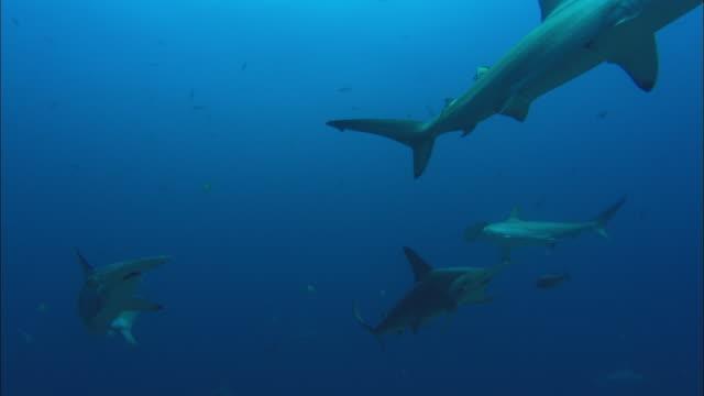 hammerhead, costa rica, pacific ocean  - costa rica stock-videos und b-roll-filmmaterial