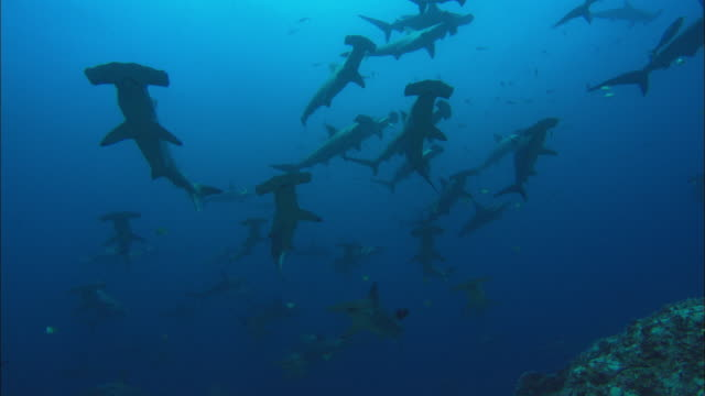 hammerhead school, costa rica, pacific ocean  - pazifik stock-videos und b-roll-filmmaterial