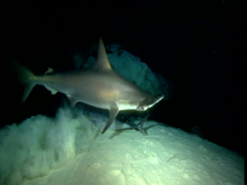 Hammerhead shark bites at tuna carcass, then drops it and swims away, Cayman Islands