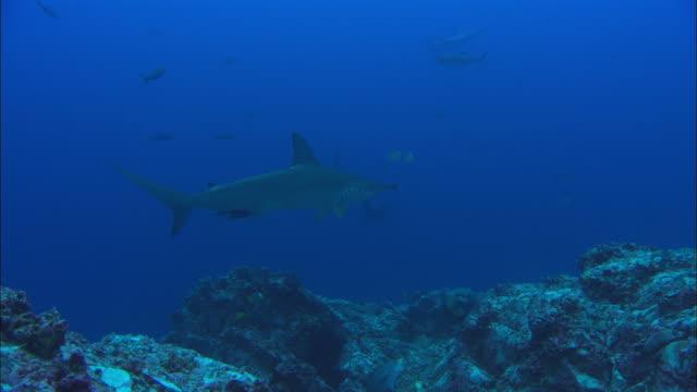 hammerhead shark over rocks, costa rica, pacific ocean  - costa rica stock videos & royalty-free footage
