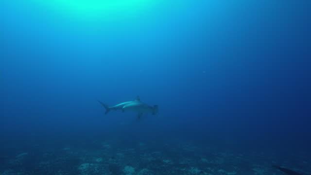 hammerhead shark - unterer teil stock-videos und b-roll-filmmaterial