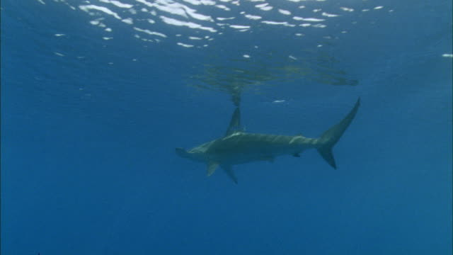 MS Hammerhead shark with pilot fish at surface / Guanacaste, Costa Rica