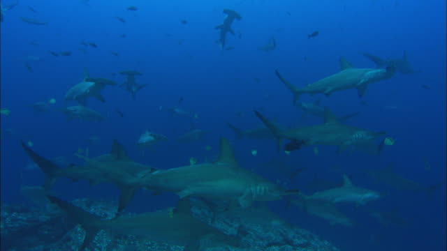 hammerhead sharks over reef, costa rica, pacific ocean  - costa rica stock videos & royalty-free footage