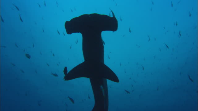 hammerhead sharks overhead, costa rica, pacific ocean  - costa rica stock videos & royalty-free footage