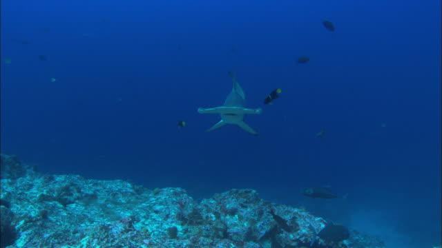 hammerhead swim by, costa rica, pacific ocean  - costa rica stock videos & royalty-free footage