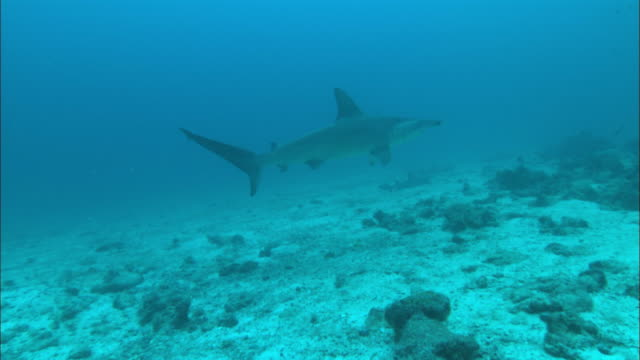 hammerhead with dorsal, costa rica, pacific ocean  - costa rica stock videos & royalty-free footage