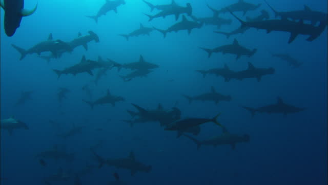 Hammerheads swim by, Costa Rica, Pacific Ocean