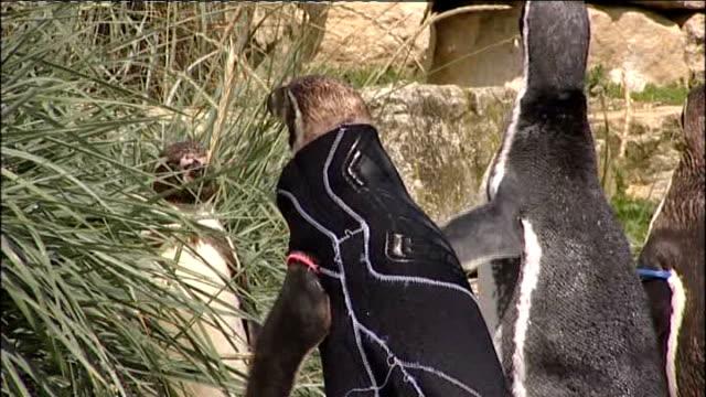 vídeos de stock e filmes b-roll de marwell wildlife: ext ralph the penguin wearing protective jacked - hampshire